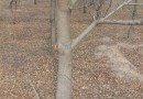 乌桕树,大小规格齐全