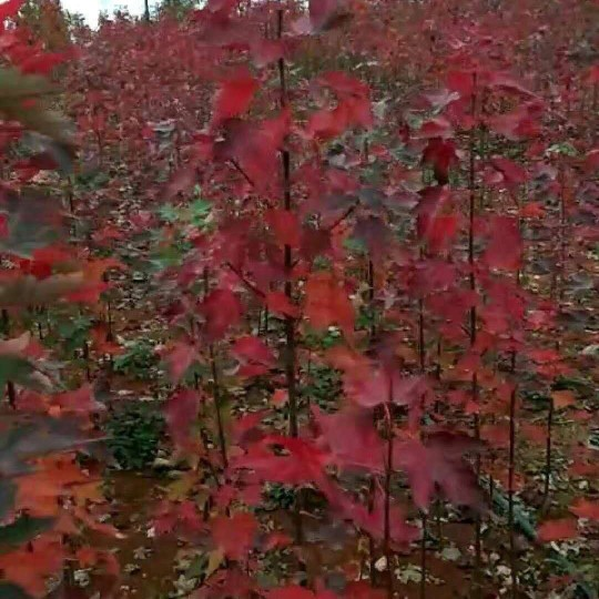 1.5米高美国红枫