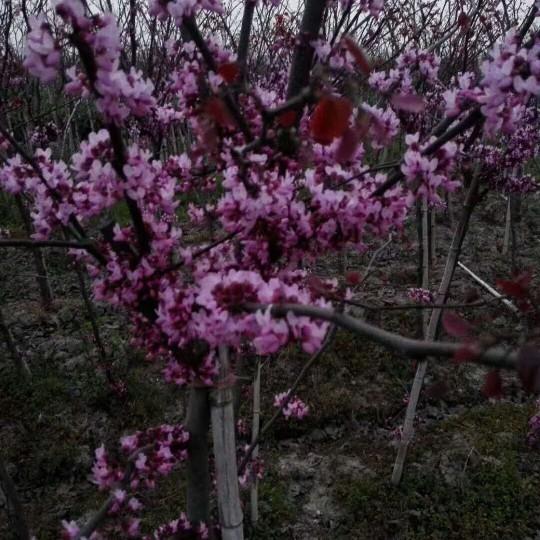 4公分加拿大独杆紫荆