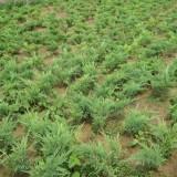 绿化苗沙地柏苗 爬地柏树苗 爬地柏盆景