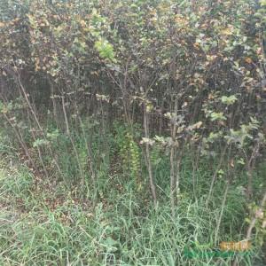 1.5米高美国紫薇苗