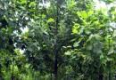 5-8公分马褂木