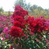 红火箭紫薇 红火球紫薇
