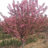 7公分红宝石海棠