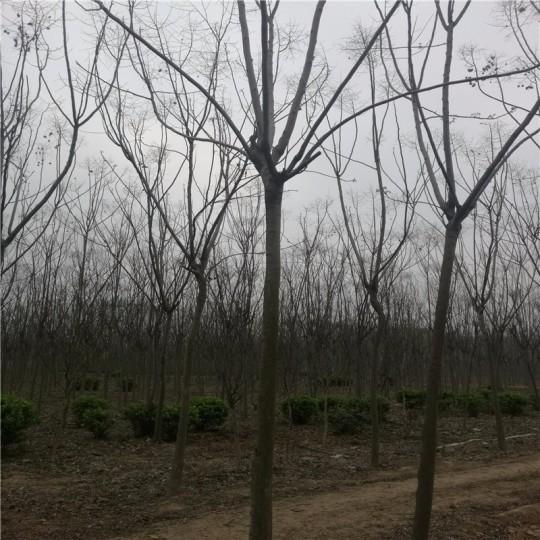 3公分栾树
