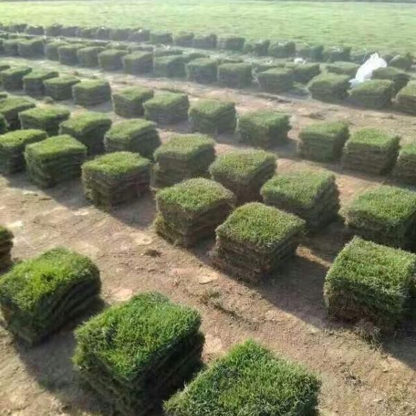 江西马尼拉草坪