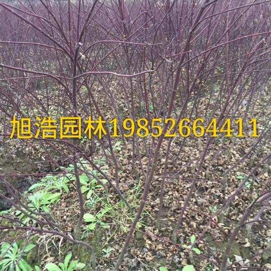 3米高美国红枫