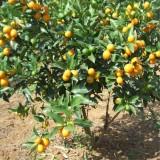 嫁接橘子苗