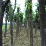 9公分白马树