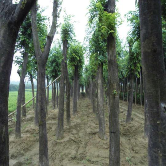 9公分白馬樹