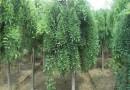 5公分垂槐