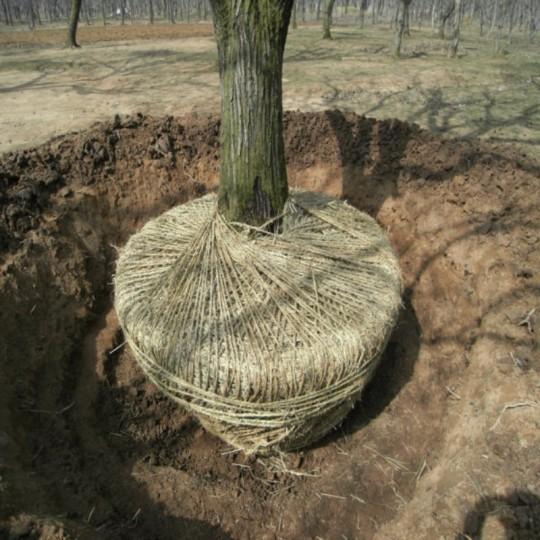 12公分板栗樹