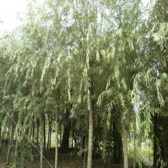3公分垂柳 柳树