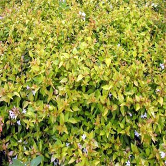 冠幅25公分大花六道木
