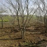 米径15公分丛生朴树