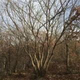 米径6公分丛生五角枫