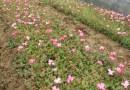 8公分樱花