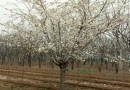 3公分桃树
