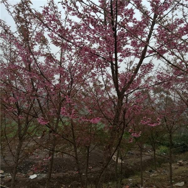 2公分冬樱花