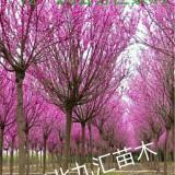 紫荆 巨紫荆