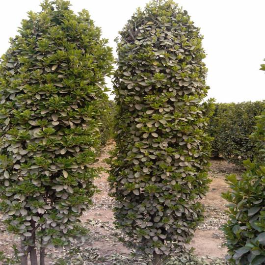 大叶黄杨柱,高度100