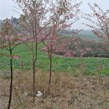 5公分冬樱花