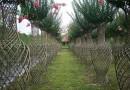 出售精品大叶黄杨(万年青)植物造型