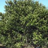 丛生胡柚树