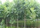 10公分马褂木