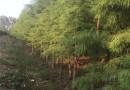 9公分落羽杉