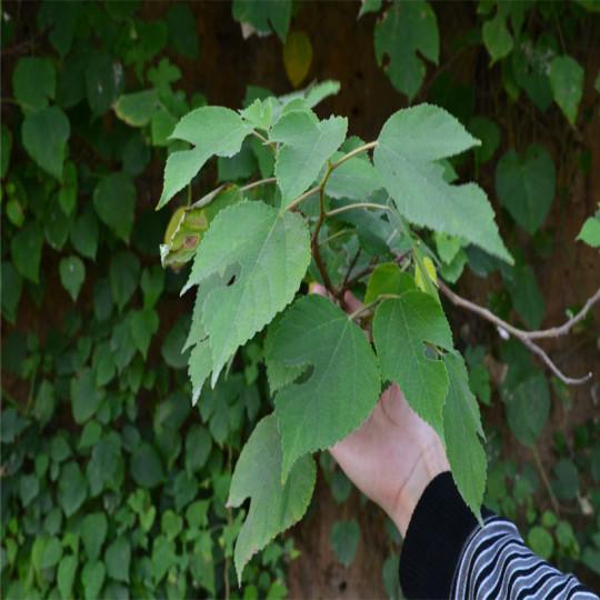 2公分构树