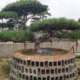 造型松树价格 造型油松基地批发