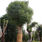 15公分香樟树