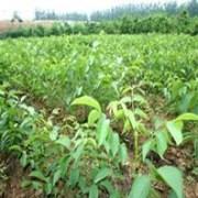 供应核桃苗,1米核桃树
