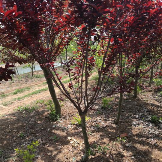 7公分紫葉矮櫻