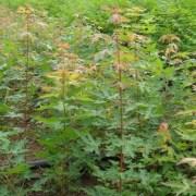 山西五角枫,2公分以上的五角枫