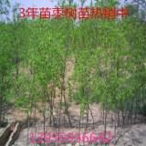 山西3公分的枣树