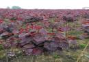 6公分紫叶紫荆