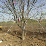 15公分皂角树