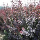 高40公分紫叶小檗