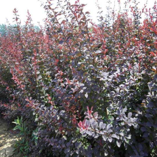 高40公分紫葉小檗