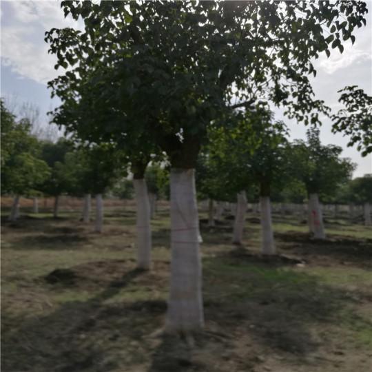 20公分重阳木