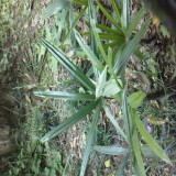 高60公分棕竹