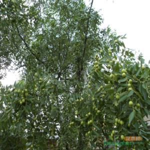 20公分枣树