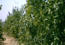 20公分棗樹