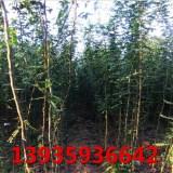山西3公分皂角树