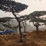 精品油松盆景价格 山东造型油松基地批发 造型松