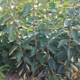 山西2公分以上的柿子树