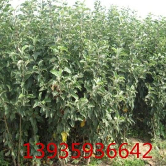 山西矮化苹果苗