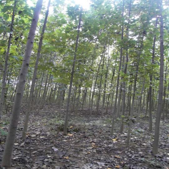 杂交马褂木